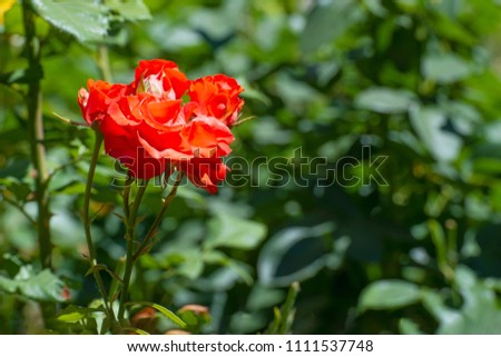 Red roses growing in the garden