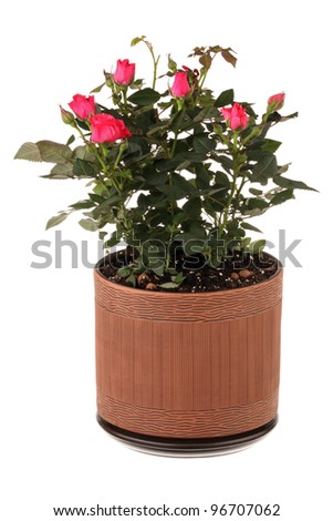 Red roses in a flower pot isolated on white background