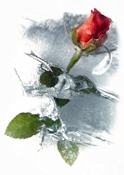 Red Roses in Ice