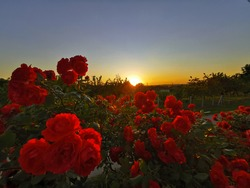 Red roses in the garden at sunset.