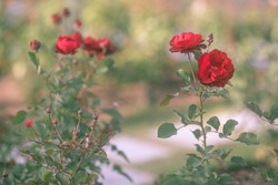Red roses in the garden. Sweet and elegant. Soothing atmosphere in the sunny garden. One focused flower with blurry background image of bush like painting. Main colors are red and green.