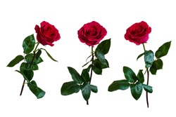 Red roses. Isolated, white background.