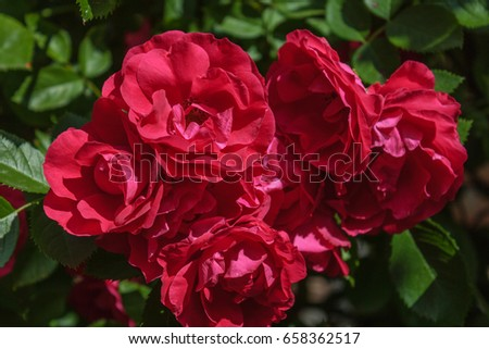 Red roses on a bush in a garden. #658362517