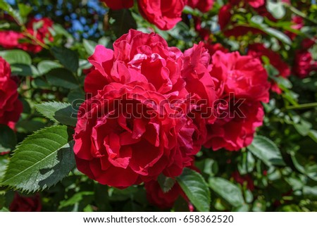 Red roses on a bush in a garden. #658362520