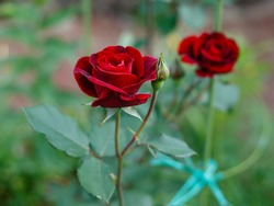 Red Roses on a bush in a garden. Russia.