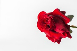 Red roses on a white background top view. A fresh bright bouquet with drops of dew. Happy Valentine's Day, Happy Mother's Day. The concept of a Birthday, Anniversary, wedding. Isolated, copy space