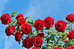 red roses on sunny sky background