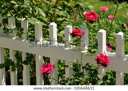 Red Roses on White Fence