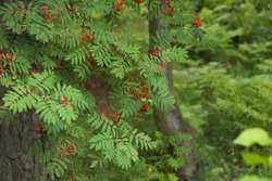 Red rowan berries and green leaves on the branches of a rowan tree on a blurred background.