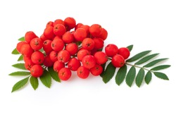 Red rowan berries and leaves, isolated on white background