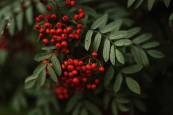 Red rowan berries on a green background in the summer forest. Autumn soon.
