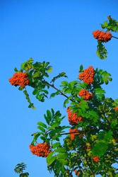 Red rowan berries on a rowan tree. with green leaves. Rowan on a branch. Mountain ash. without GMO.