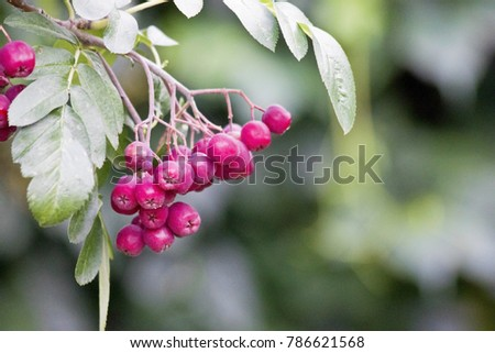 red rowan berry. bunch of red...
