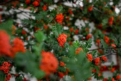 Red rowan on a branch. Berries on rowan tree. Sorbus aucuparia.  Clusters of rowan berries on the background of green foliage
