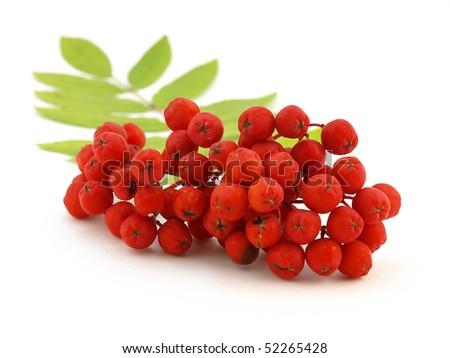 stock-photo-red-rowanberry-52265428.jpg