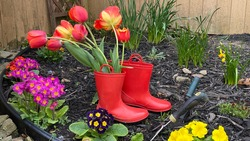 Red rubber boots with orange colored bunch of tulips in them. The boots are sitting inside a garden. with flowers growing.