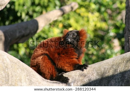 red ruffed lemur #288120344