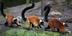 Red ruffed lemur (Varecia rubra) is native to Madagascar and occurs only in the rain-forests of Masoala,