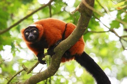 red ruffed lemur, Varecia rubra, watching from above on branch,