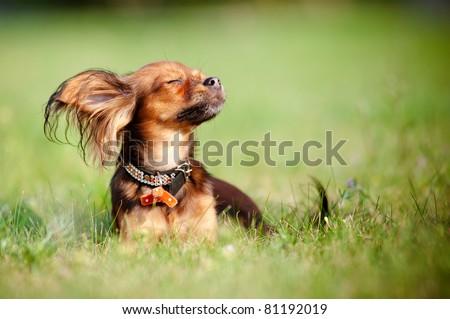 Red russian toy dog enjoying the sun