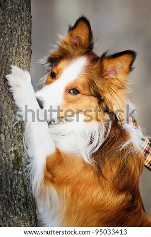 Red (sable) border collie and tree, close up