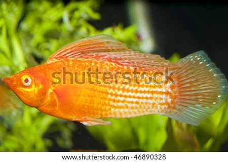 Molly Poecilia Velifera Red Sailfin Molly Poecilia