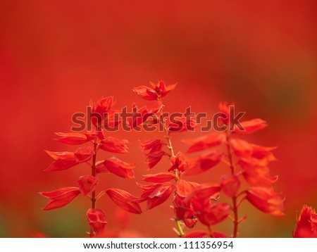 Red Salvia (Salvia splendens) in deep red background.