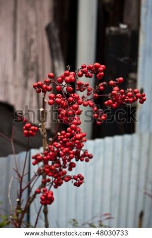 Red Sambucus (Eldery or Elderberry)