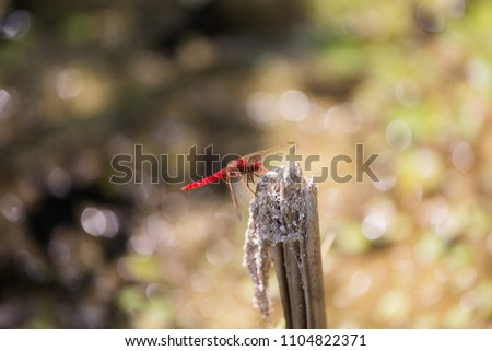 Red Scarlet dragonfly (Crocothemis erythraea) on brunch, Damselfly, Dragonfly, Insect, Libellulidae, animal background #1104822371