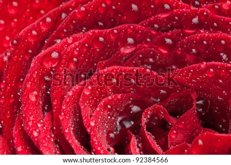 Red scarlet flowering rose with droplets allover