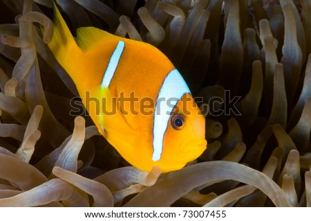 Red Sea Anemone fish - a series of UNDERWATER IMAGES.