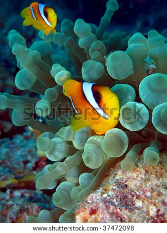 Red Sea Anemone Fish (Amphiprion bicinctus). Taken at Temple in  Egypt.