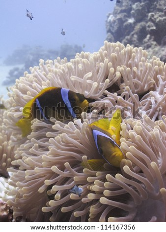 Red sea anemonefish (Amhiprion bicintus) hiding and protecting her anemone