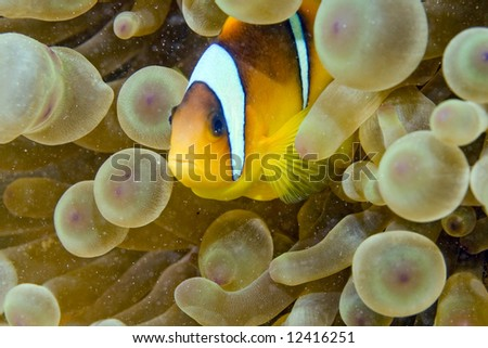 Red sea anemonefish (Amphipiron bicinctus) and bubble anemone - stock photo
