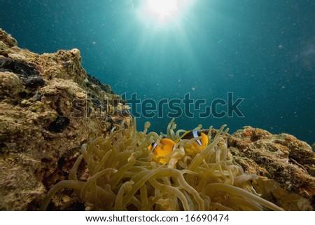 Red sea anemonefish (Amphipiron bicinctus) and bubble anemone