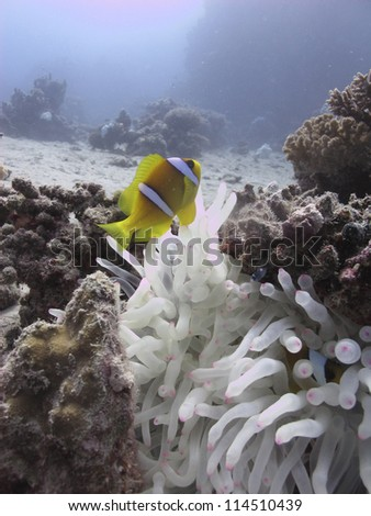 Red sea anemonefish (Amphiprion bicintus)