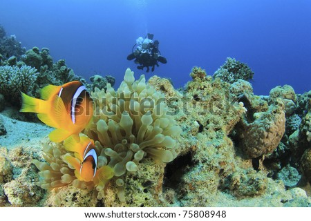 Red Sea Anemonefish and Scuba Diver