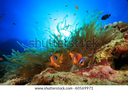 Red Sea Anemonefish in Bubble Anemone with sun behind