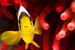 red sea clownfish with bright red sea anemone