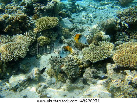 Red sea coral reef and butterflyfishes