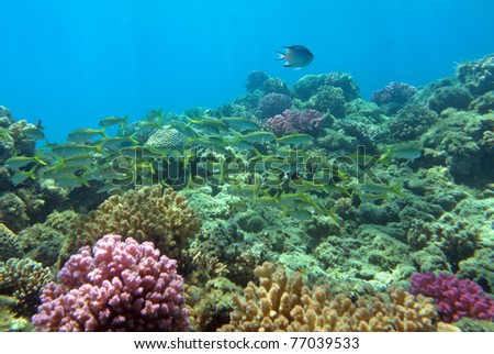 Red Sea coral reef with a lot of fish