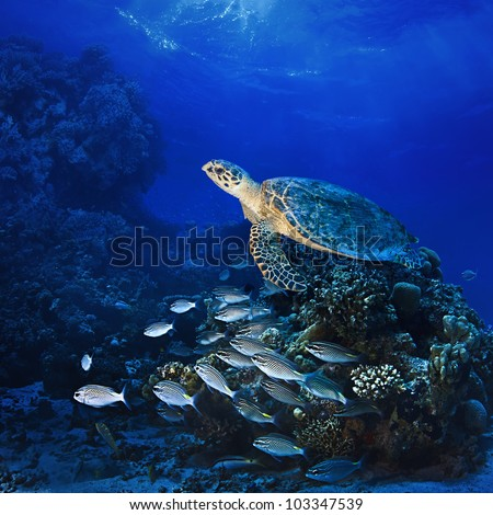 Red sea diving big sea turtle swimming over coral reef full of fish