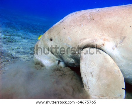 Red sea, dugong in cloud sand looking for seafood trough sea grass