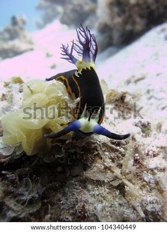 Red Sea nembrotha - Beauty of Red Sea