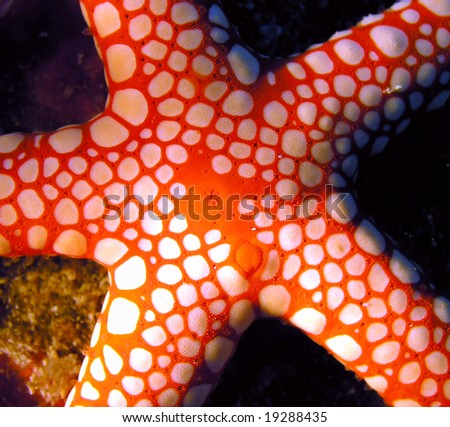 Red Sea star fish