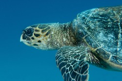 Red Sea Turtle Under Water Photo