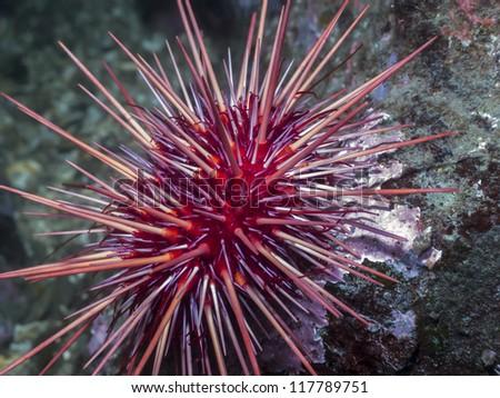 Red Sea Urchin Stockfoto ©