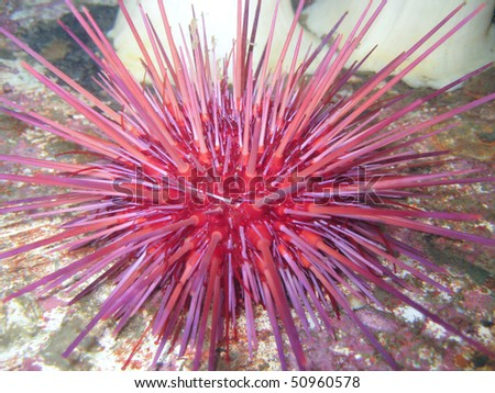 Red sea urchin,