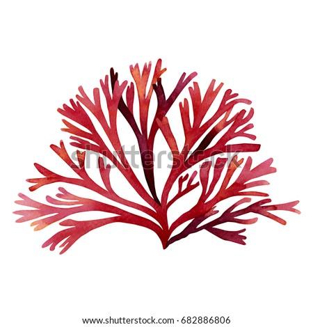 red seaweed kelp  algae coral...