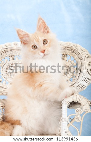 Red shaded silver Maine Coon kitten on fancy white wicker chair on blue background